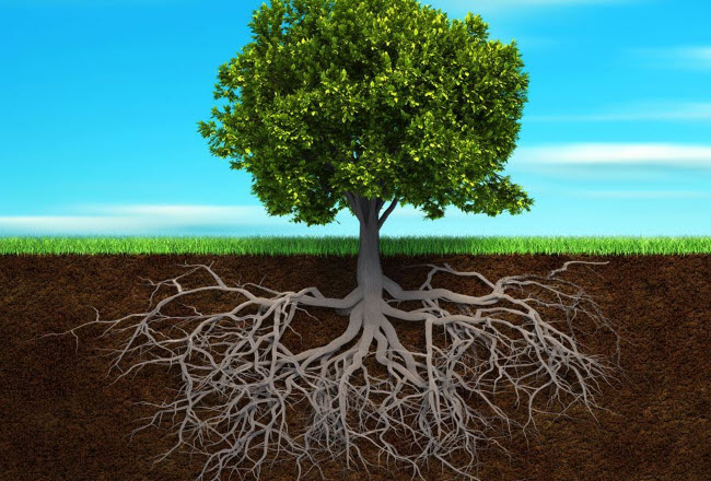 Рост корней